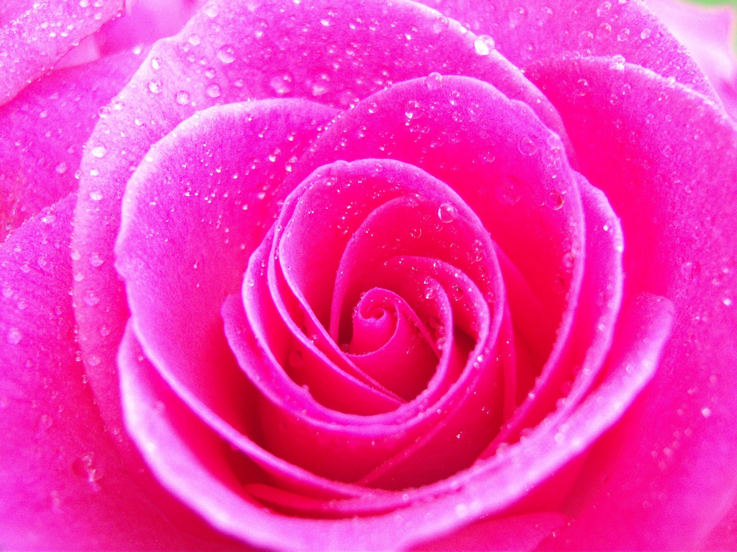 Hot pink fashion1psychology for Roses to colour in